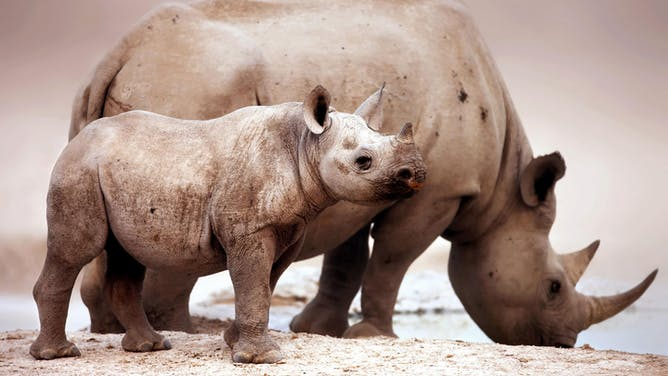 Searching for Endangered Rhinos in Namibia