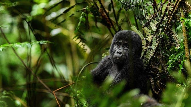 Gorillas of the Virunga Mountains