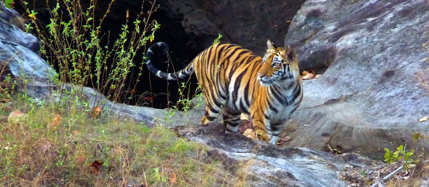 Photo Gallery: Save the Tiger
