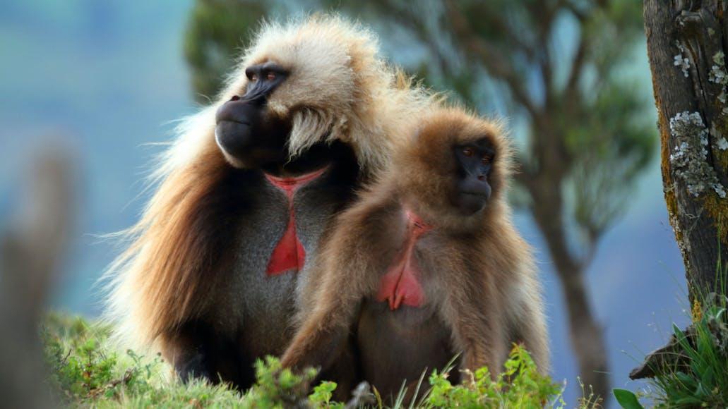 A Rare Look at the Ethiopian Gelada Monkey