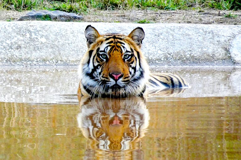Tiger submerged with only head and top of back visible