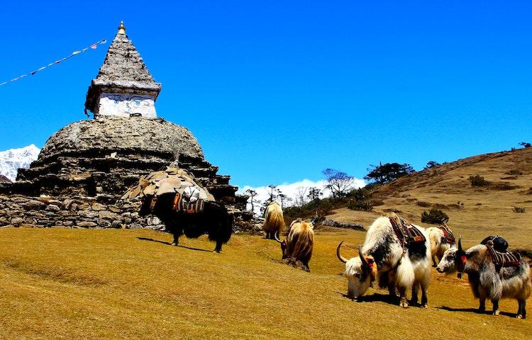 yaks and chorten - Nepal Everest Base Camp Trek