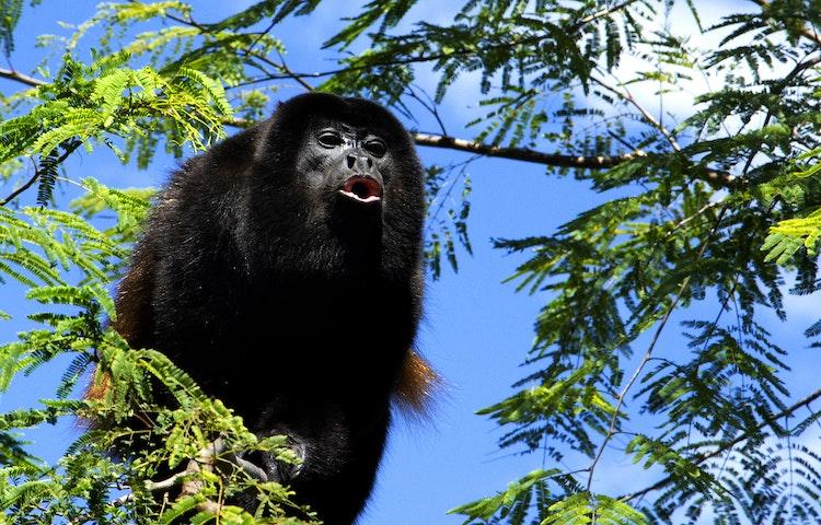 howler monkey - Costa Rica Private Family Adventure