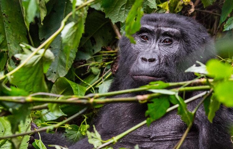 gorilla portrait - Rwanda Primate Adventure