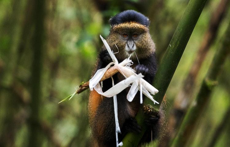 golden monkey - Rwanda Primate Adventure