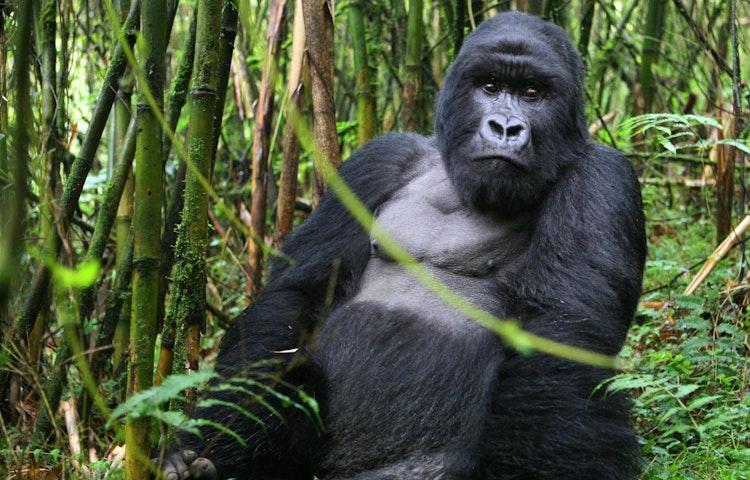 silverback in bamboo - Rwanda Primate Adventure