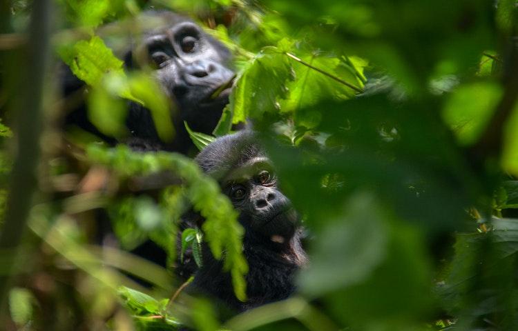 pair of gorillas - Rwanda Primate Adventure