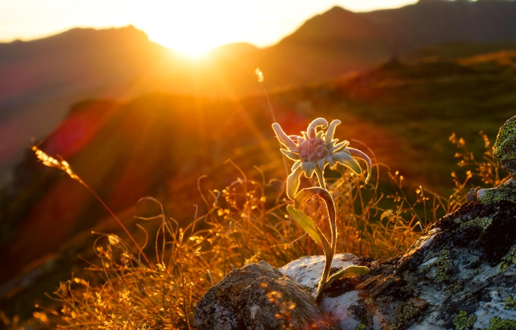 edelweiss at sunrise - Alps Mont Blanc Family Adventure
