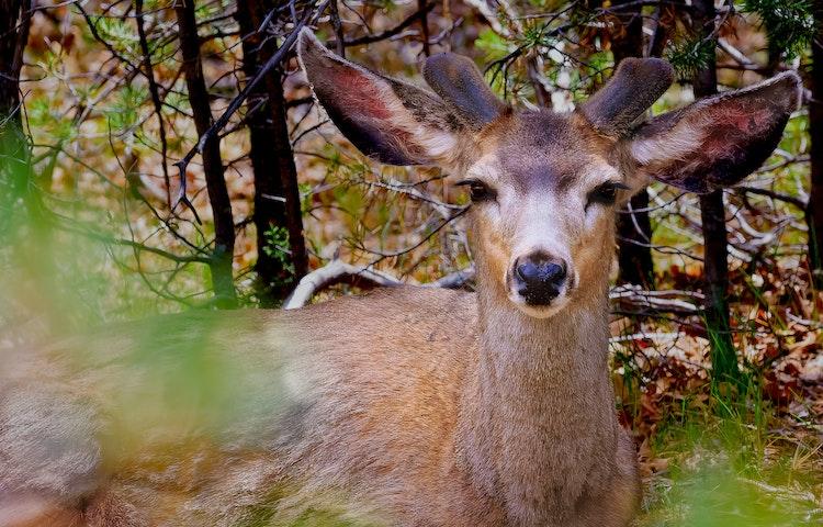 mule deer in trees