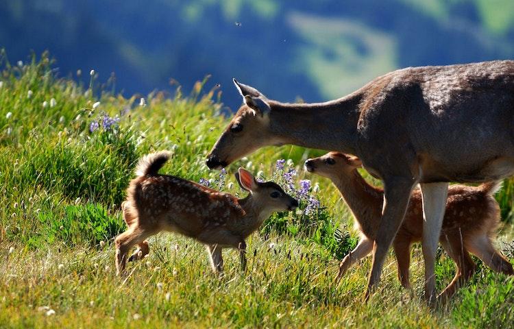 deer - California High Sierra Odyssey Trek