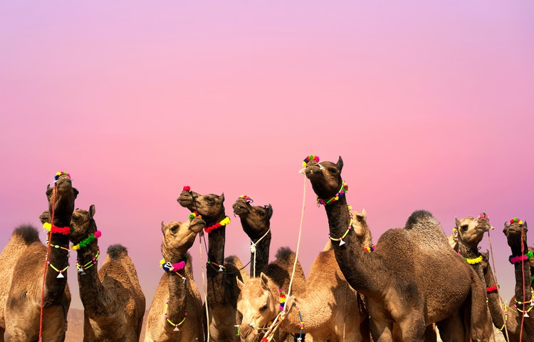 camels - India Royal Rajasthan & Pushkar Camel Fair