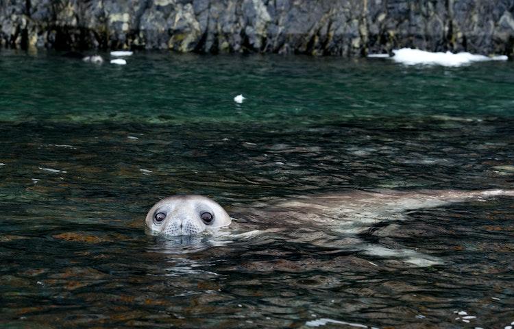 seal - Antarctica Fly & Adventure Cruise