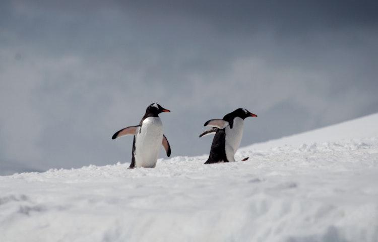 gentoo penguin pair