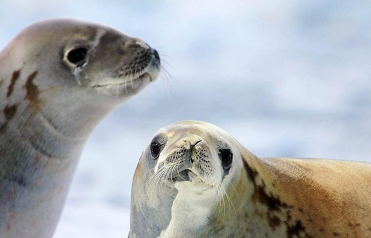 seals - Antarctica Crossing the Antarctic Circle Adventure Cruising