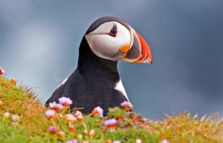 puffin - Scotland Orkney Isles Private Adventure