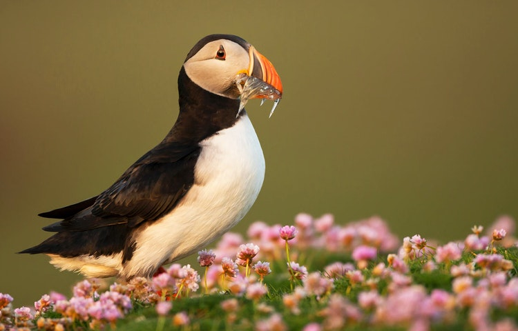 puffin - Iceland Natural Wonders Hiking