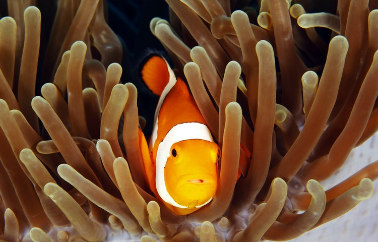 clownfish - Indonesia Raja Ampat Multi-Adventure