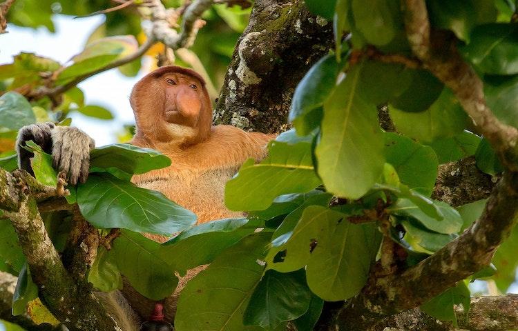 proboscis monkey - Borneo Rainforests & Villages Wildlife Safari
