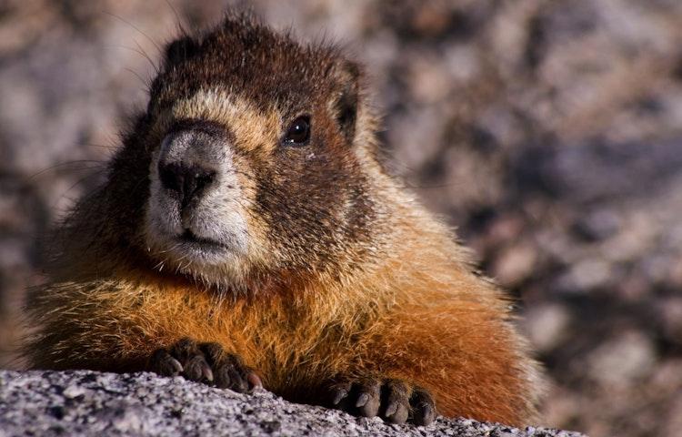 marmot - California John Muir Trail Southbound to Mt. Whitney Trek