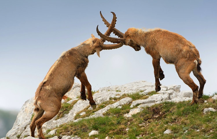 ibex - Slovenia Alps Hiking with Laurent Langoisseur