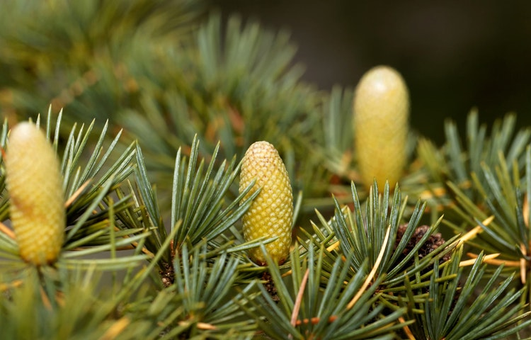 cypress cones - Lebanon Mountain Trail Hiking