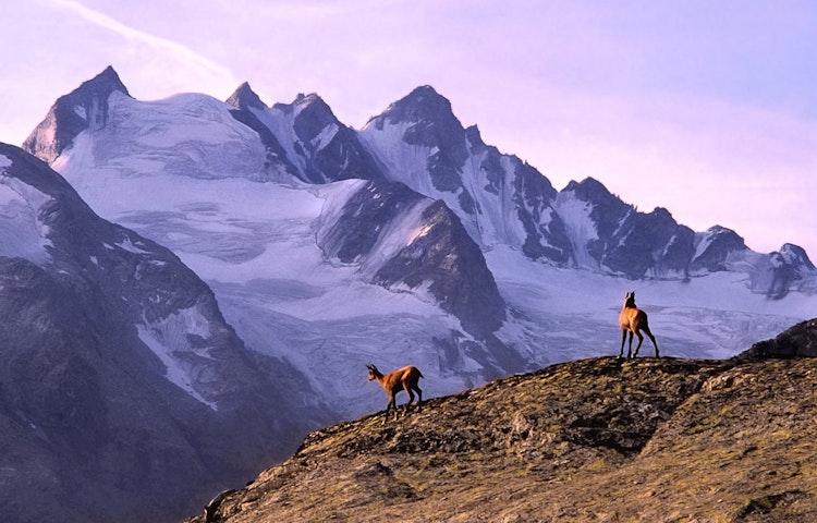 chamois - Alps Around the Matterhorn Trek