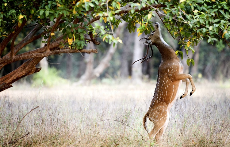 chital deer - India & Nepal Save the Tiger
