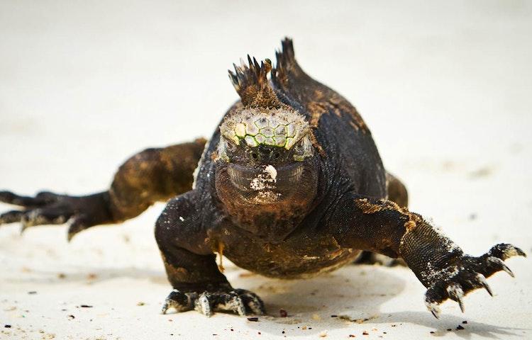iguana face to face - Ecuador Galapagos Islands Private Adventure
