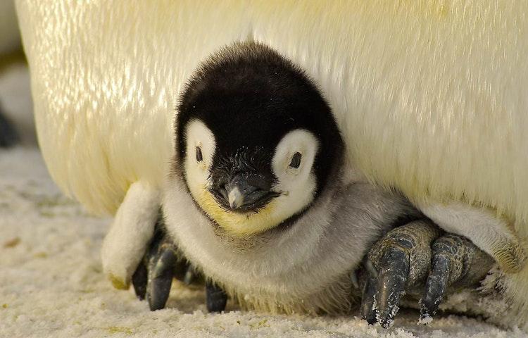 baby penguins - Antarctica In Search of the Emperor Penguin Adventure Cruising