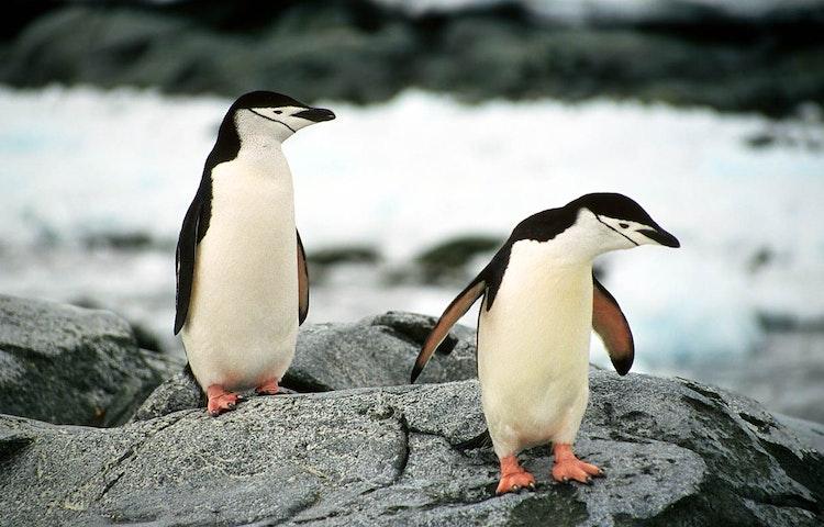 chinstraps - Antarctica In Search of the Emperor Penguin Adventure Cruising