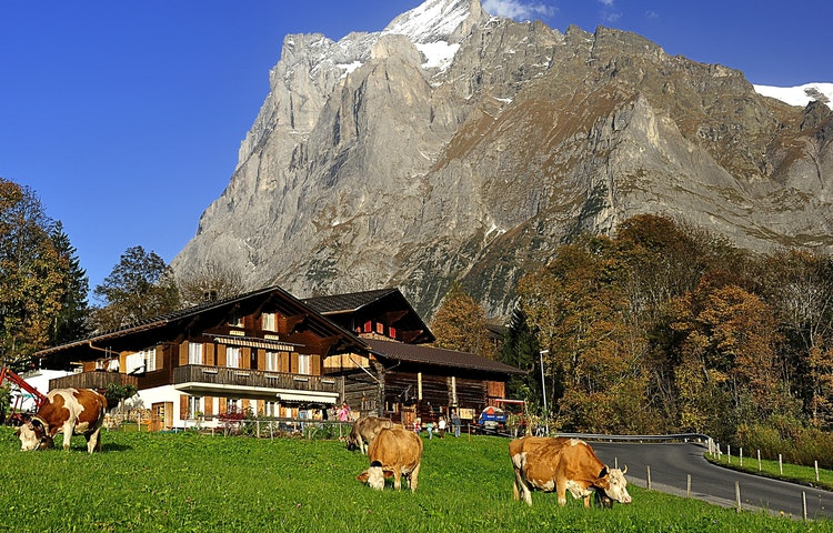 cows and chalet