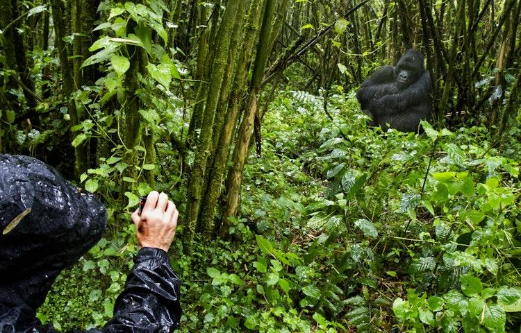 visitor and gorilla