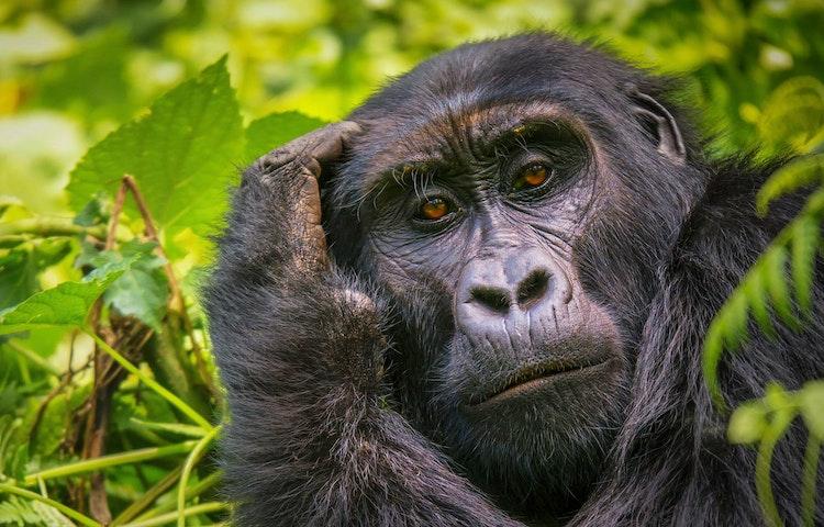 gorilla gaze