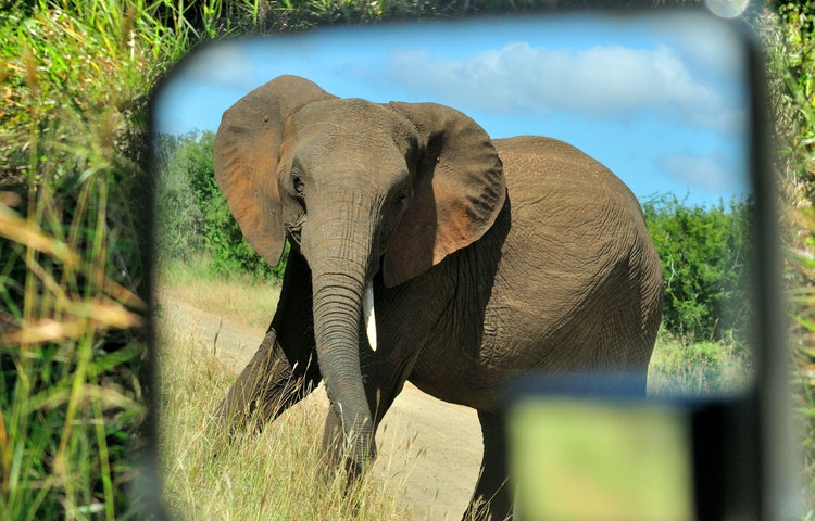 elephant in the mirror