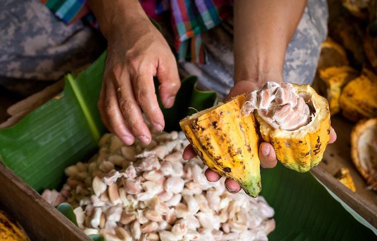 opening cacao pods - Ecuador Galapagos Island Family Adventure Cruise