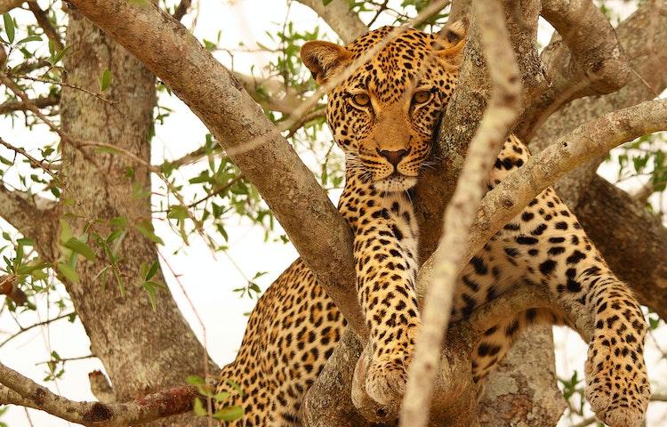 leopard in tree - South Africa Three Kingdoms Multi-Adventure