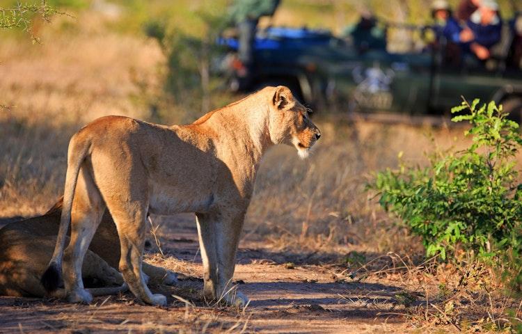 lioness - South Africa Three Kingdoms Multi-Adventure
