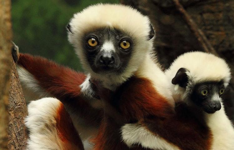 lemur and baby - Madagascar Baobabs & Lemurs Active Safari Private Adventure