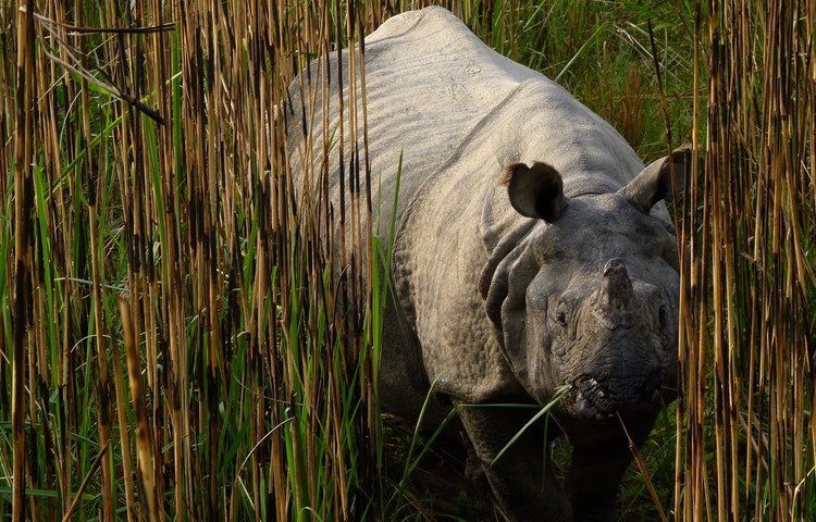 rhino in reeds
