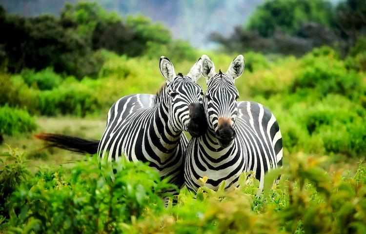 zebras - Tanzania Ultimate Serengeti Active Safari