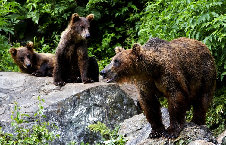 bear and cubs