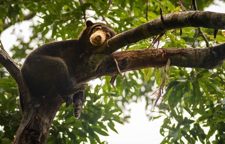 bear - Borneo Rainforests & Villages Wildlife Safari