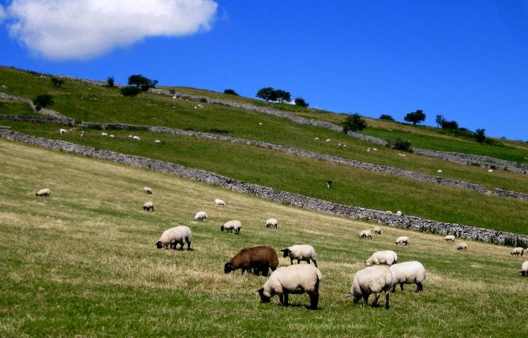 sheep - England Coast to Coast Hiking
