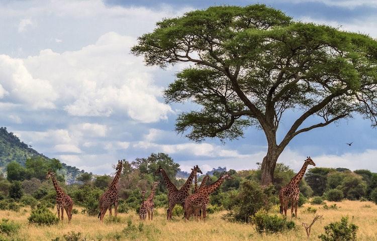 giraffes - Tanzania and Kenya Classic Safari Private Adventure