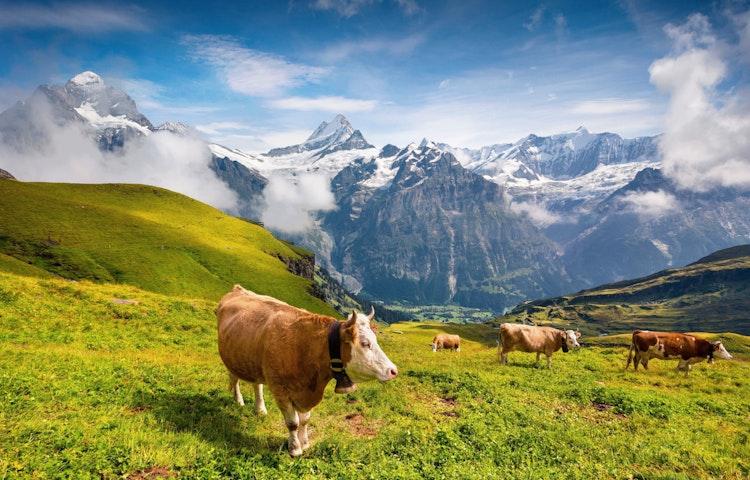 cows - Alps Village to Village Hiking