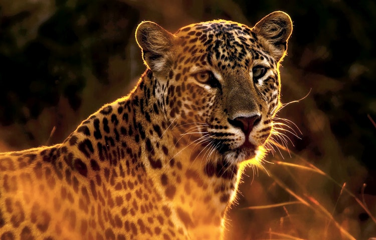 evening leopard - Tanzania Ultimate Serengeti Active Safari