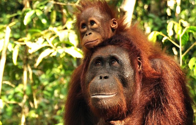 orangutan mom and baby - Borneo Rainforests & Villages Wildlife Safari