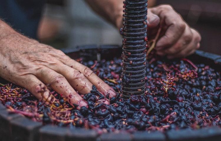 crushing grapes - Croatia Istria to Veneto Hiking