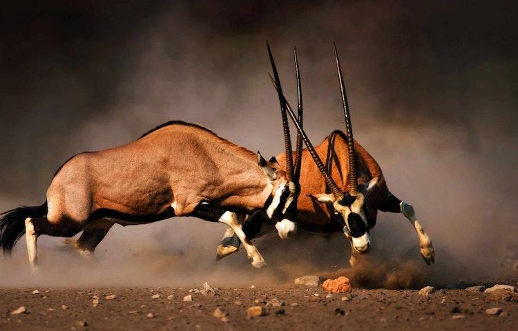 oryx - Namibia Wildlife & Dunes Safari