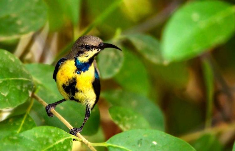 yellow bird - India & Nepal Save the Tiger